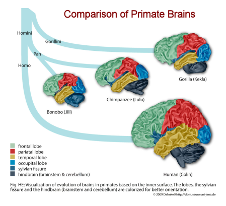 Comparison of Primate Brains